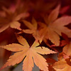 Maple leaves next to Lake Kawaguchi.