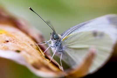 A small white moth caught on camera.  We usually don't see all of that detail when they are floating around!