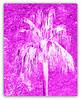 Jill Duncan_Pink Palm