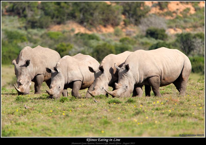 Rhinos Eating in Line