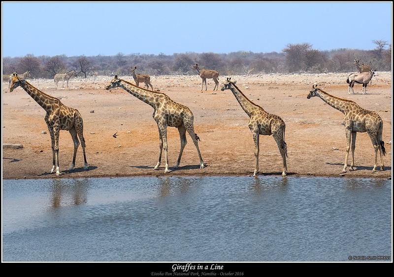 Giraffes in a Line