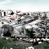 Bedouin sheep in the middle of West Amman
