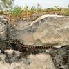 Coin Snake (Coluber numifer ravergieri)