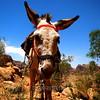 Donkey at Petra