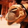 Camel at Petra 2