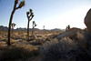 Early after sunrise at Joshua Tree 3-10-12