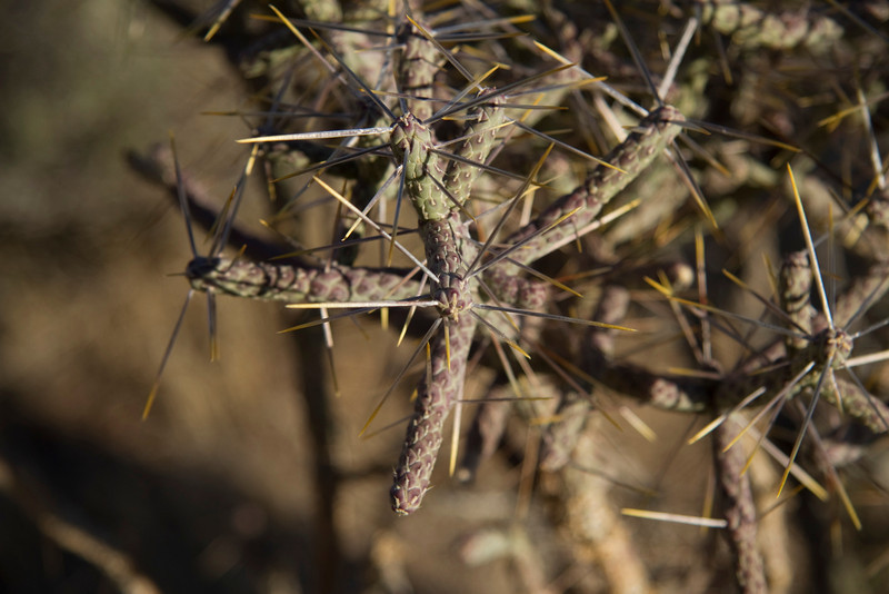 Big Barbed cactus close up Joshua Tree 3-10-12