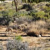 Wolf Out in the Morning Looking for Prey at Joshua Tree National Park in California