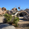 Unusual Tree in Joshua Tree National Park in California