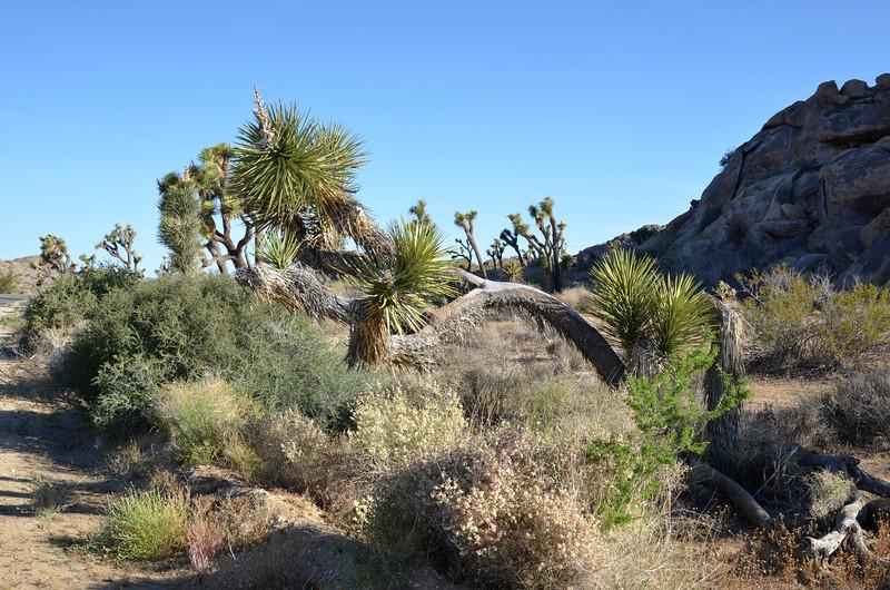 Joshua Tree National Park in California 104