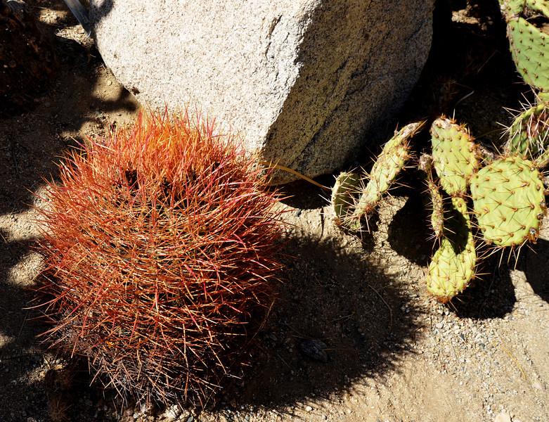 Cactus Plants in Joshua Tree National Park in California