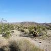 Cactus Garden in Joshua Tree National Park 2