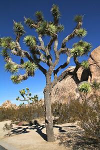Joshua Tree 17