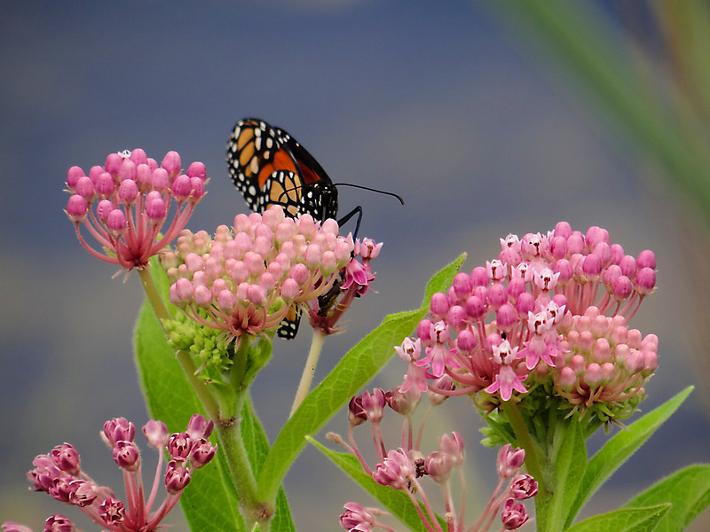 Monarch butterfly sitting on bright pink milkweed flowers on a plant down in Cape May, NJ during a recent visit.