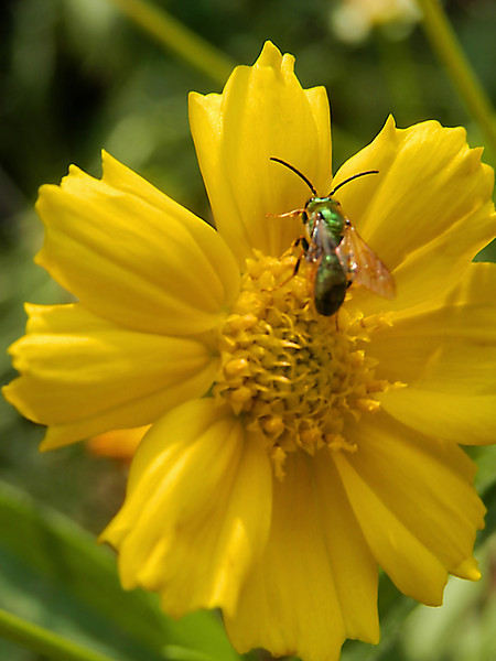 Yellow flower with green insect on it shot at Goodale Park in Columbus, Ohio