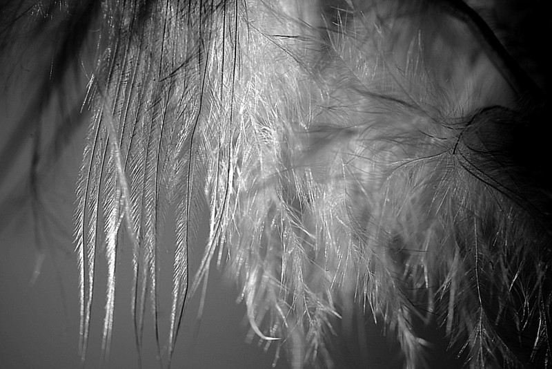 Macro photo of feathers in monochrome