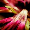 Macro gerbera daisy details