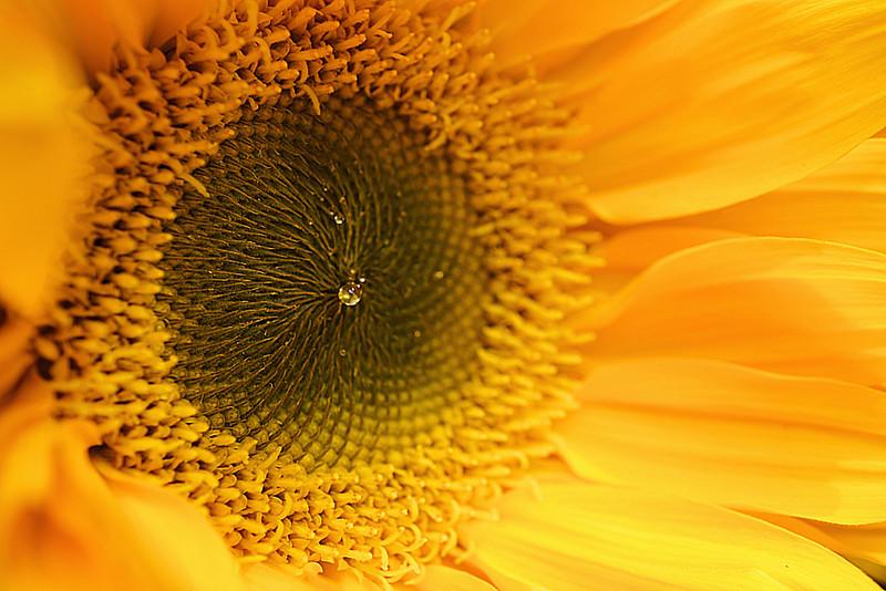 Yellow sunflower