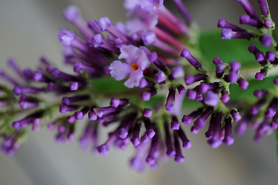 Butterfly bush flowers just opening up.