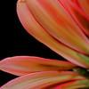 Macro gerbera daisy petals