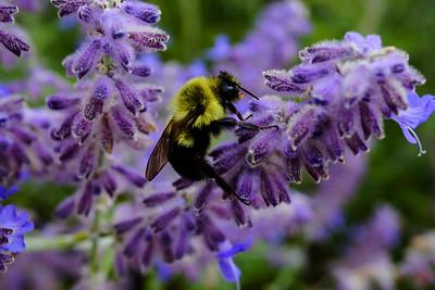 A fuzzy bee on a fuzzy purple lavender flower.