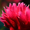 Macro photo of a red dianthus flower.