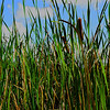 Textured edit of a group of tall cattails in a local park