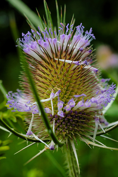 Purple thistle macro