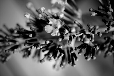 Butterfly bush flowers just opening up done in monochrome.