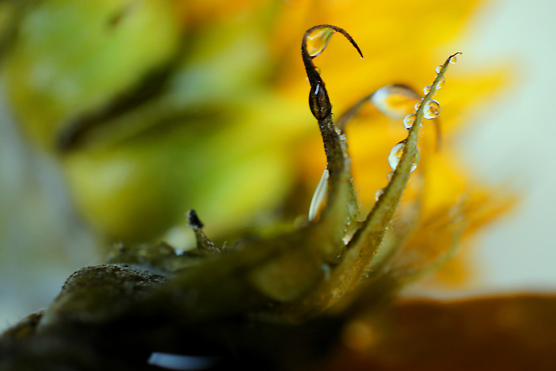 A bit of Tim Burtonish feel to this wet sunflower macro.
