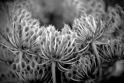 Macro photo of Queen Anne's lace done in monochrome.