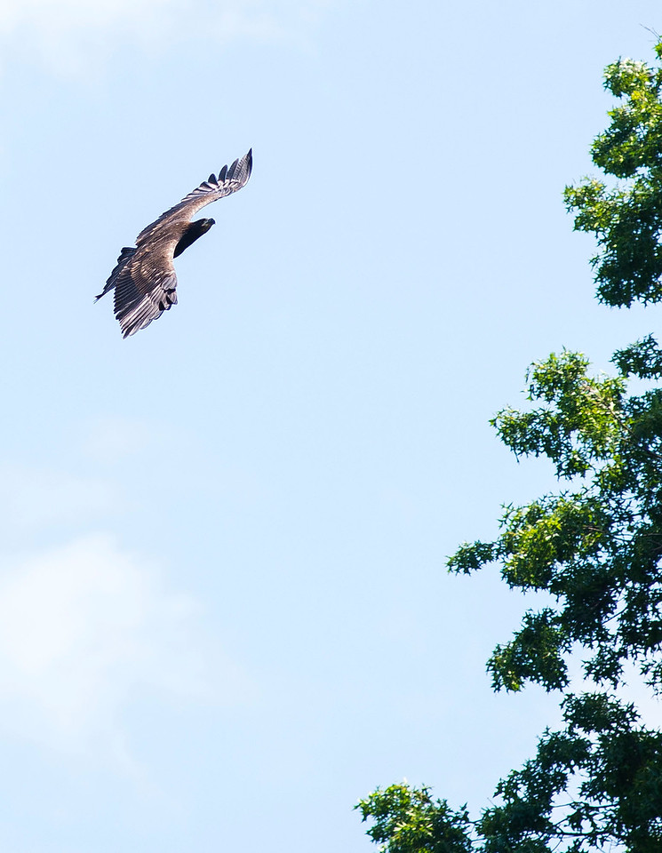 KRISTIN BAUER | CHRONICLE  A fledgling bald eagle practices its flying skills by circling the oak tree where its nest is stationed at Redwood Elementary School, in Avon Lake on Tuesday afternoon, July 5. It will take nearly 5-years for this fledgling to have a white head like its parental eagles.