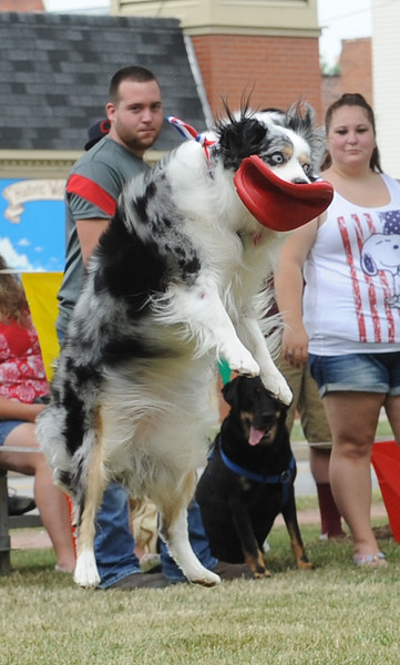 Chloe, a two-year -old miniature Australian shepherd, owned by Connie Sutphin of Wellington, catches a frisbee in the Dog Show competition at the Fourth of July celebration in Wellington on Monday, July 4. STEVE MANHEIM/CHRONICLE