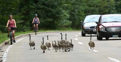 Bethanie Spickler and mother Kirsten Spickler watch as a group of geese walked nearly a mile down the Leo Bullocks Parkway in Elyria, slowing traffic. BRUCE BISHOP/CHRONICLE