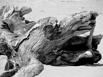 I see perhaps a dragon's head in this this old weathered piece of driftwood on the beach on the shores of Lake Erie in Sheldon Marsh Nature Preserve in Huron, Ohio.