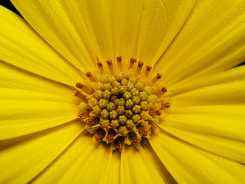 In the middle of a yellow african daisy