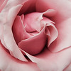 Pink rose up close