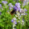 Honeybee enjoyed some lavender flowers.