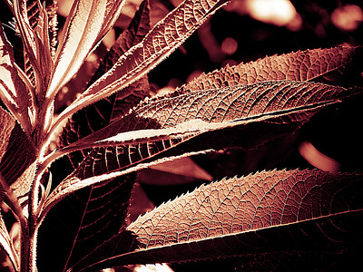 The red version using a red monochrome filter of a plant with highly textured long leaves in the bright Summer sun. Part of a series of edits of this photo.