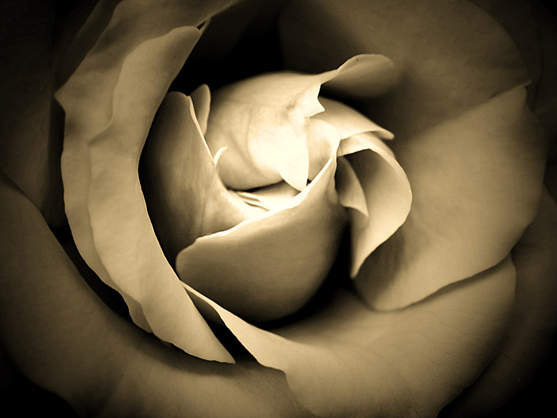 Sepia version of a rose center.