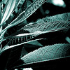 A second version using a bluish filter of a plant with highly textured long leaves in the bright Summer sun. Part of a series of edits of this photo.