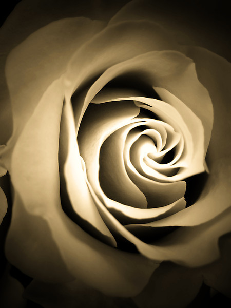 """Hommage to O'Keeffe"" sepia treatment given to a single pink rose macro and done in the style reminiscent of a Georgia O'Keeffe flower painting in terms of line, shadows, shading and composition."