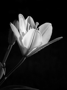 Against the strong early morning sunlight an orange lily was photographed and then transformed into the monochromatic format.