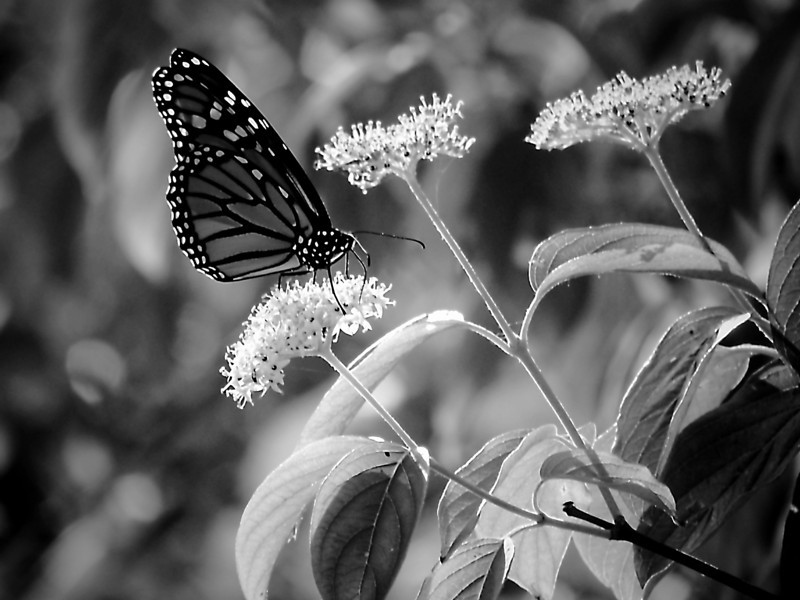 Monarch butterfly on white flowers down by the Scioto River in Columbus, Ohio on a Summer's evening.