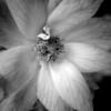 Macro of a very small pale pink rose on a rose bush done up in monochrome.