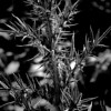Sharply pointed thistle plant done in monochrome.