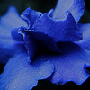 Waiting for the inner petals to open up on a textured macro of a deep blue african violet bloom.