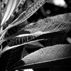 The monochromatic black and white version of a plant with highly textured long leaves in the bright Summer sun. Part of a series of edits of this photo.
