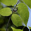 Soft curves of leaves and twig on a tree in a local park.