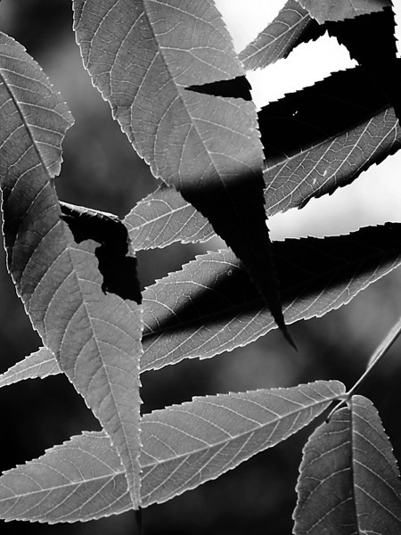 A bit of Cubism in leaf form done in monochrome.